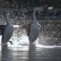 Merveilles de la nature : la danse nuptiale des grèbes de Clark