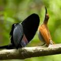 Merveilles de la nature : les parades de séduction des oiseaux de paradis (2 ème partie)