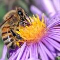 l'abeille, un trésor de la nature mis en péril par l'avidité et la bêtise de l'homme...