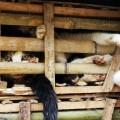 Les Chats martyrs du Vietnam...humanité, que ne fait-on en ton nom !